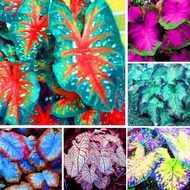 Philippines Ready Stock Real Legit Caladium Seeds 100pcs Mixed Colors Rare Flower Seeds Easy To Grow Home Garden Bonsai Seed Gardening Decoration Flower Live Plants for Sale Indoor and Outdoor Mayana Planting Varieties Mga Binhi Ng Caladium