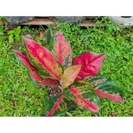 aglonema kocin camelon indukan /aglonema red kocin / tanaman hias