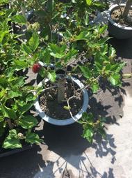 一禪種苗園-樹幹直徑2公分<甜桑椹樹(蠶桑樹)>水果苗- 6吋盆