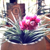 空氣鳳梨 休士頓 〔銀葉粉花〕野苑植作 T.Houston