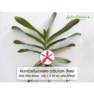 ✻❦☎  ต้นกล้วยไม้ ช้างแดง อะซิม่าเรด Red Azima อายุ 1 ปี สูง 30 ซม. สีแดง จำนวน 1 ต้น พร้อมให้ดอก