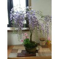 ♥景觀盆栽雙寶♥日本樹紫藤苗、八房九重葛(買4送1🌟🌟🌟超值驚喜只要價500元🌟🌟🌟!)