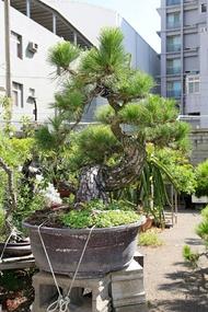 黑松 中型盆栽