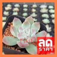 SALE !!สุดพิเศษ ## Echeveria Elegans 1 หัว กระถาง 3 นิ้ว G Succulents กุหลาบหินนำเข้า ไม้อวบน้ำ. Imported Live Succulents plants ##ต้นไม้และเมล็ดพันธุ์ดอกไม้