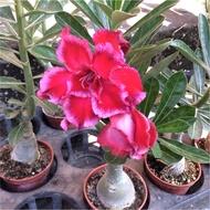 重瓣沙漠玫瑰🌹特賣💜 花夢坊🌹3吋盆 隨機出貨