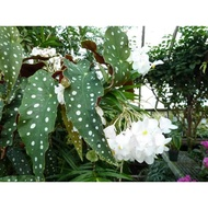 Begonia Maculata (Silver Dots) From Brazil