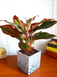Red Siam Aurora Aglaonema  free plastic pot with soilaglonema Live Plants for sale real plants outdoor plant indoor plant potted plants plants with roots ornamental plants for sale
