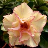 沙漠玫瑰 重瓣品種 嫁接5吋盆(首席)