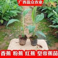 爆款促銷-香蕉樹苗皇帝蕉紅蕉矮化蕉芭蕉西貢蕉粉蕉庭院果樹苗盆栽香蕉苗