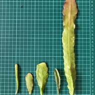 孔雀仙人掌 selenicereus wercklei