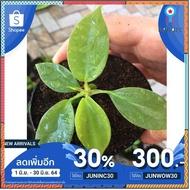 ก้ามกุ้งแม่พันธ์ด่าง philodendron florida beauty สินค้ามีจำนวนจำกัด