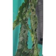一禪種苗園-二叉分枝++扁葉馬尾杉/錢幣石松++>蕨類盆栽-吊盆