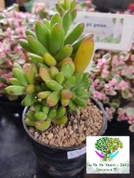 ไม้อวบน้ำ กุหลาบหิน Sedum Pachyphyllum (กล้วยหอมใหญ่)
