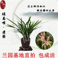 [Live room special shoot link] Orchid evergreen indoor potted flowers Office living room outdoor potted plants