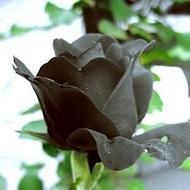 ↖黑夫人玫瑰花種子 (種子)四季玫瑰 特價↗