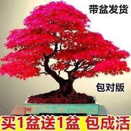 【Buy One Two】Red Maple Seedlings Bonsai Four Seasons Cold-Resistant Indoor and Outdoor Bonsai Chinese Red Maple Leaf Flo