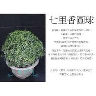 心栽花坊-/七里香圓球/寬30cm/綠籬植物/圓球/造型樹/特售/售價360特價300