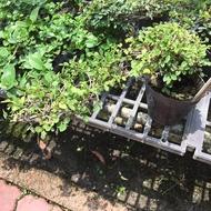 一禪種苗園-萌芽力強<造型-榆樹(榆木疙瘩)>造型盆栽- 3.5吋盆
