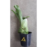 【森居】巨獸 鹿角蕨
