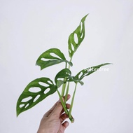 พลูฉลุ / เลี้ยงน้ำได้ / จำนวน 1 กิ่ง / Monstera obliqua Miq ต้นไม้ฟอกอากาศ ต้นไม้ พลูด่าง   monstera adansonii