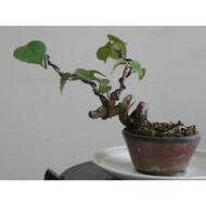 台中瘋小品-小品盆栽-黃槿-3-特價