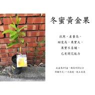 心栽花坊-冬蜜黃金果/四季生/黃晶果/黃金果/嫁接苗/水果苗/熱帶水果/售價800特價640