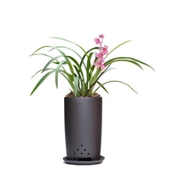 [Live broadcast] Authentic orchid Miao Jian Lan Hui Lan Chun Lan Chun Jian Lotus Orchid Hanlan indoor green plants bloom