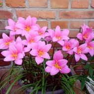 ✳Wind and rain orchid bulbs blooming leek orchid seedlings potted flower plants fresh and easy to live green bulb seeds✪