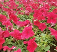 ของแท้ 100% พร้อมสต็อก เมล็ดพันธุ์ บอนสี เมล็ดดอกไม้ เมล็ดบอนสี บอนสีสวยๆ บอนสีหายาก ดอกไม้ ต้นไม้มงคล บอนสีชายชล เมล็ดพันธุ์ดอกไม้ เม็ดบอนสี ดอกไม้จริง ต้นดอกไม้สวยๆ Flower ของแต่งสวน บอนไซ ต้นไม้ฟอกอากาศ Plants