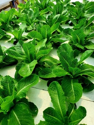 Maximus Lettuce RZ - Cos Romaine | 1000 seeds | Rijk Zwaan Seeds by Greengold Farms
