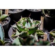 Agave Titanota Black and Blue 龍舌蘭 藍鯨 藍球 | Rare Agave Titanota Plants