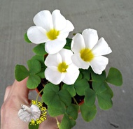 [白色 芙蓉幸運草 芙蓉榨醬草 大花幸運草盆栽 ] 室外植物 3吋盆栽  ~ 不是隨時都有.  先確認有沒有貨!