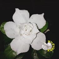 [ 白色/奶油白色重瓣沙漠玫瑰花盆栽] 5吋盆複瓣沙漠玫瑰盆栽 ~有花苞的優先出貨~ 多年生觀賞花卉盆栽~ 室外半日照佳