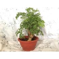 英宏-室內植物-開運植物-細葉川七(福祿桐)1尺圓盆