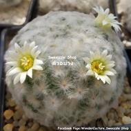 กระบองเพชร (Cactus) แมมขนนกขาว (Mammillaria plumosa) หลายขนาด หลายราคา จัดส่งทั้งกระถาง