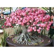 園藝 種子 推薦\n沙漠玫瑰種子重瓣ADENIUM obesum多肉植物家庭園藝德國進口