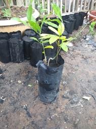 ต้นผักหวาน พันธุ์สีทองเพาะเมล็ด 1ถุงมีผักหวาน1ต้นพร้อมพี่เลี้ยง1ต้นสินค้าพร้อมส่งราคาถูก(สินค้าเสียหายเคลมฟรี)