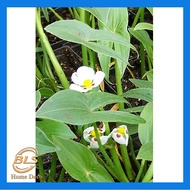 REAL LIVE PLANT WATER ORCHID ARROWHEAD FLOATING PLANTS WITH POT