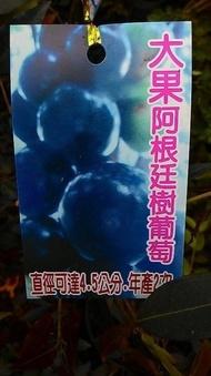 水果苗 ** 大果阿根廷樹葡萄 ** 6吋盆/高30-40cm/果實碩大【花花世界玫瑰園】OvO