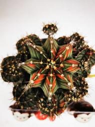 กระบองเพชร แคตตัส ยิมโนด่างสวยๆ ลายพราง cactus (Gymnocalycium) size 8 cm.