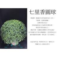 心栽花坊-/七里香圓球/寬50cm/綠籬植物/圓球/造型樹/特售/售價800特價700