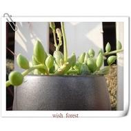 WISH FOREST【多肉植物。京童子】。大弦月城。圓顆粒像是西瓜的紋路~~