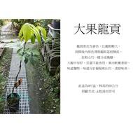 心栽花坊-大果龍貢/嫁接苗/水果苗/售價3000特價2500