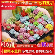 succulents Succulents new package cute meat and meat combination potted plants with pots and soil free shipping succulen