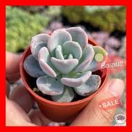 SALE !!ราคาพิเศษ ## Echeveria Orpet ไม้อวบน้ำ กุหลาบหิน Cactus&Succulentหลากหลายสายพันธุ์ ##เมล็ดพรรณและต้นไม้seed tree
