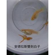 [彩蝦屋]安德拉斯白子雙劍  孔雀魚 專用飼料 買五送一 觀賞魚高級餌料
