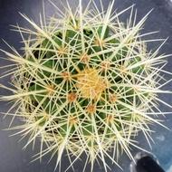 1ต้น/ชุด กระบองเพชร แคคตัส Cactus : Echinocactus Grusonii (ถังทอง) ขนาดต้นเฉลี่ยประมาณ 10-12 CM. ส่งพร้อมกระถาง เป็นสายพันธุ์กระบองเพชรขนาดใหญ่ ไม้ที่ขายฟอร์มหนามเริ่มชัด ต้นขนาดเท่าลูกเทนนิส พันธุ์หนามยาว ขนาดของจริงตามรูป