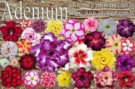 沙漠玫瑰 種子 seeds ㊣ adenium_ko_tw ㊣單瓣沙漠玫瑰種子★單一品種★一包15粒 特價60元