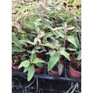 一禪種苗園-驅蚊No1. ++檸檬桉(尤加利)++香草植物