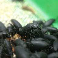 大麥蟲/成蟲/蛹/幼蟲